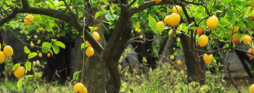 lemonetreefoolsgarden