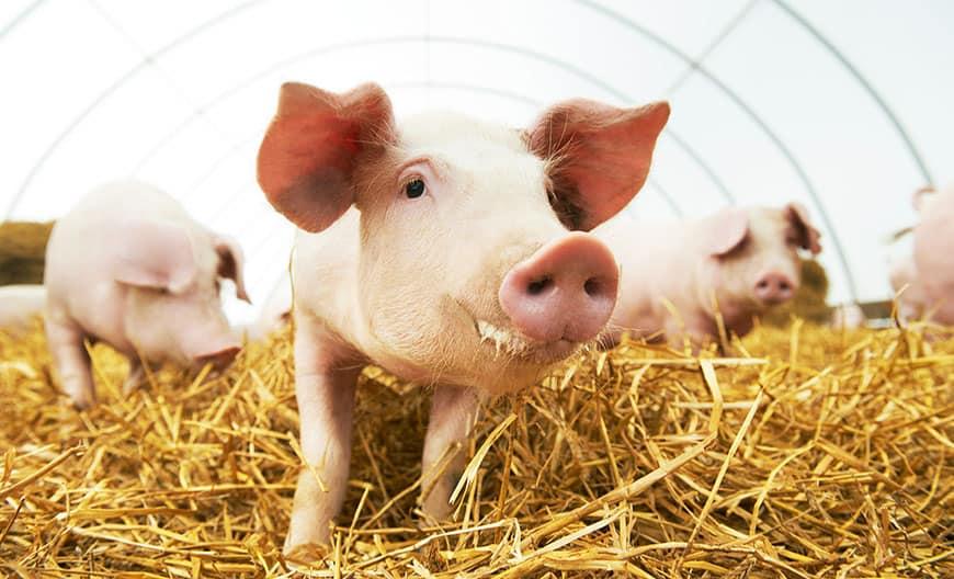 H_Schweine