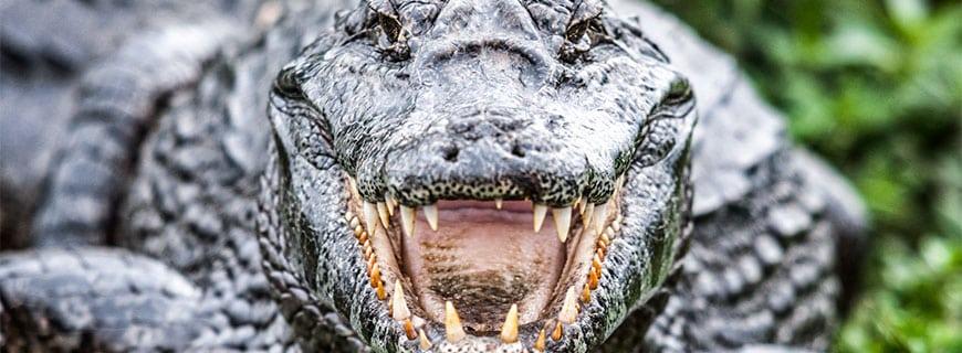 alligator-header
