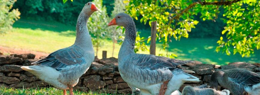 Vogelgrippe sorgt für Aufregung in Frankreich
