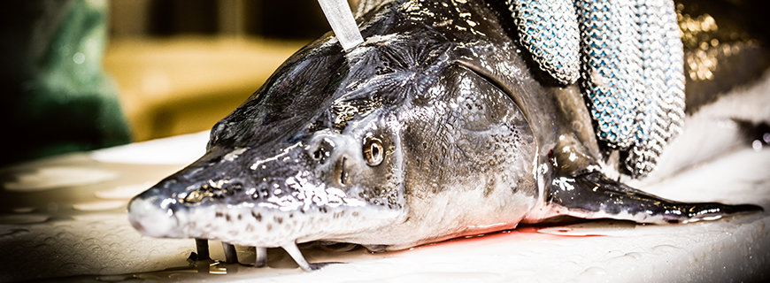 japanische Fischtötungs-Methode Ike Jime