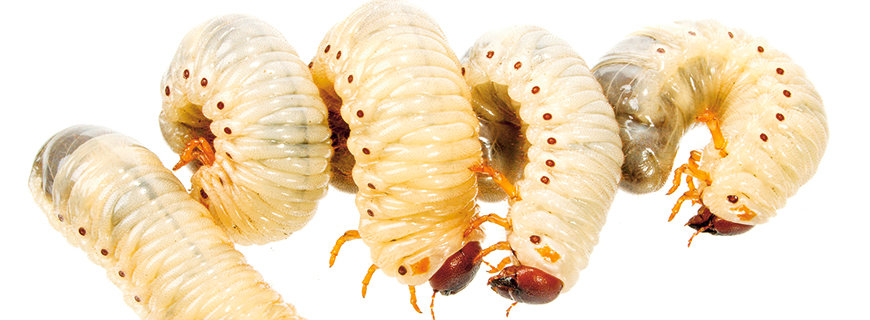 Insekten - Delikatessen aus Proteinen