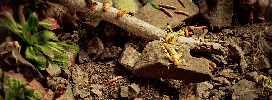 Insekten als Delikatesse