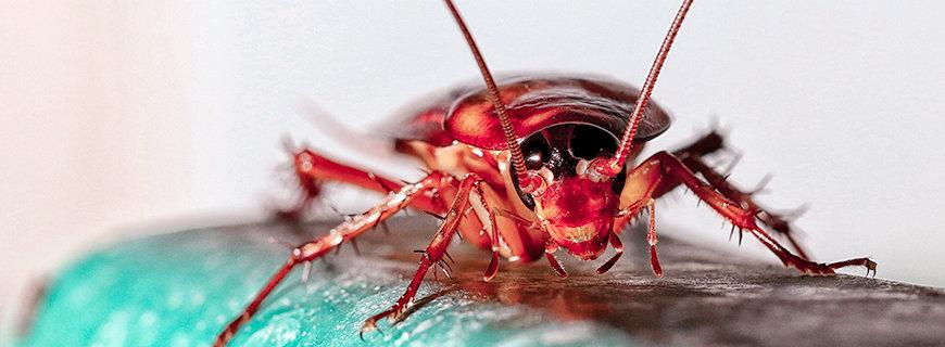 Nahaufnahme Kakerlake auf hellgrünem Untergrund