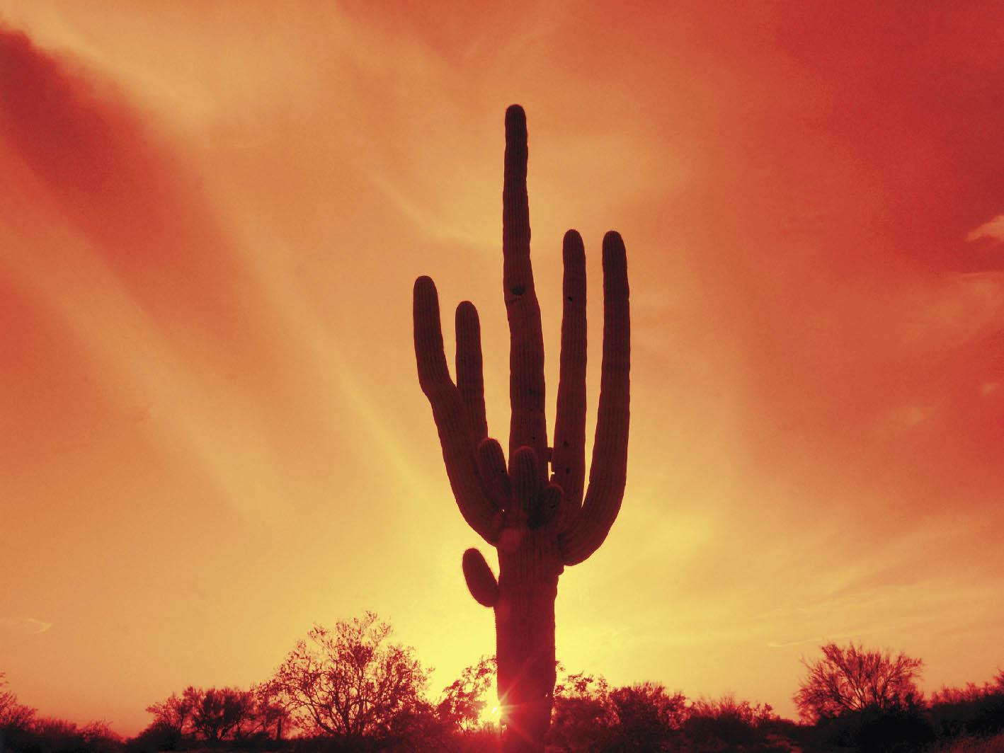Ein großer Kaktus im Abendrot des Himmels