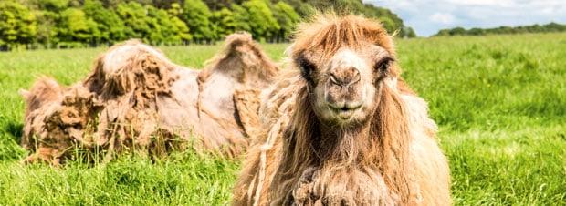 Kamel auf der grünen Wiese