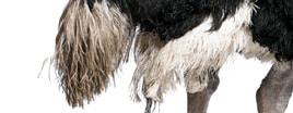 Haut & Federn eines Vogelstrausses