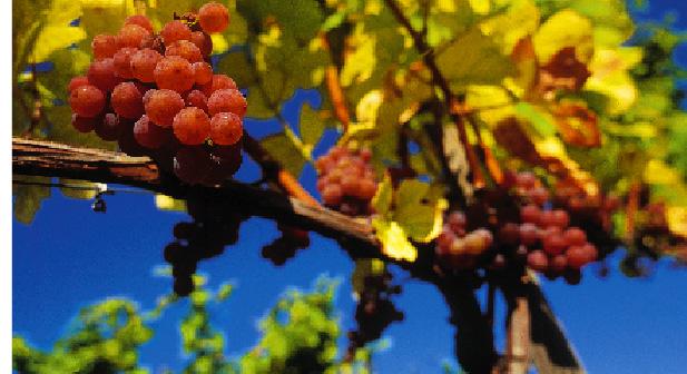 Weintraubenstrauch mit Roten Trauben