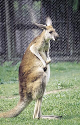 ein stehendes Känguru
