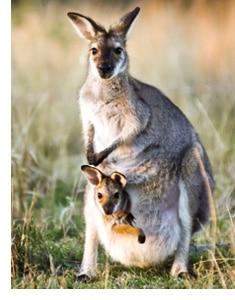 Känguru mit ihrem Jungen