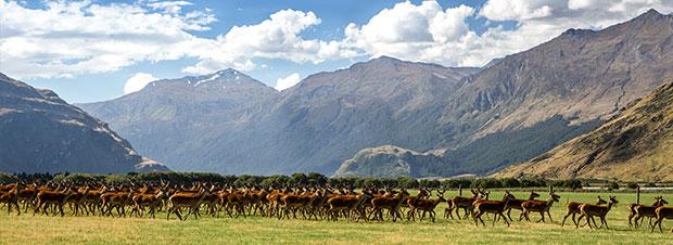 neuseeländischen Hirsche