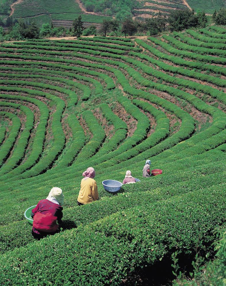 Anbaufläche der Teepflanzen