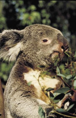 ein eukalyptus fressender koalabär