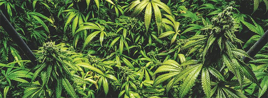 Cannabispflanzen in der Blüte