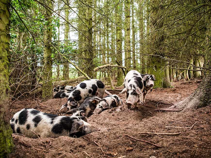 Die Schwarzbunten Dänischen Schweine
