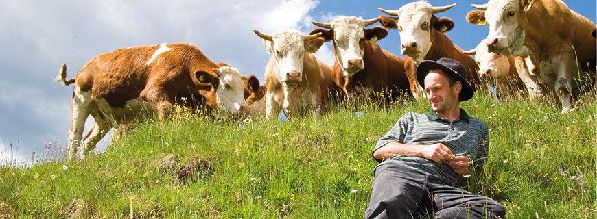 ein junger Herr liegend auf der Weide, hinter ihm grasende Kühe