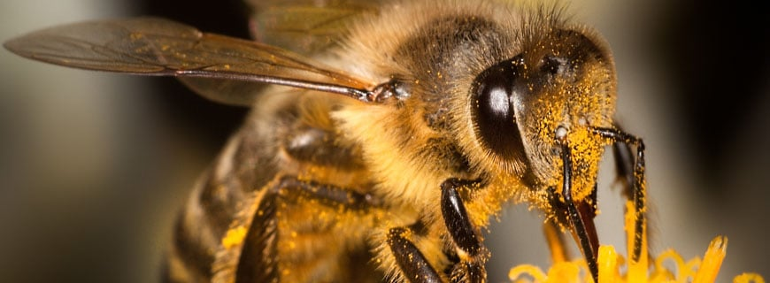 Biene beim Pollen sammeln in Nahaufnahme
