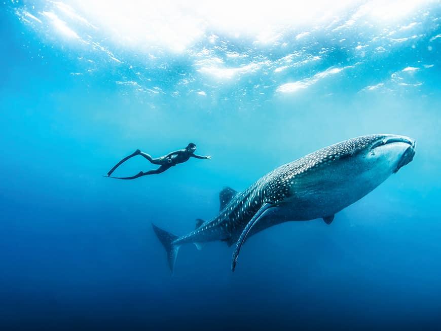 Taucherparadies: Free Diving mit Walhaien ist nur ein Highlight auf den Malediven