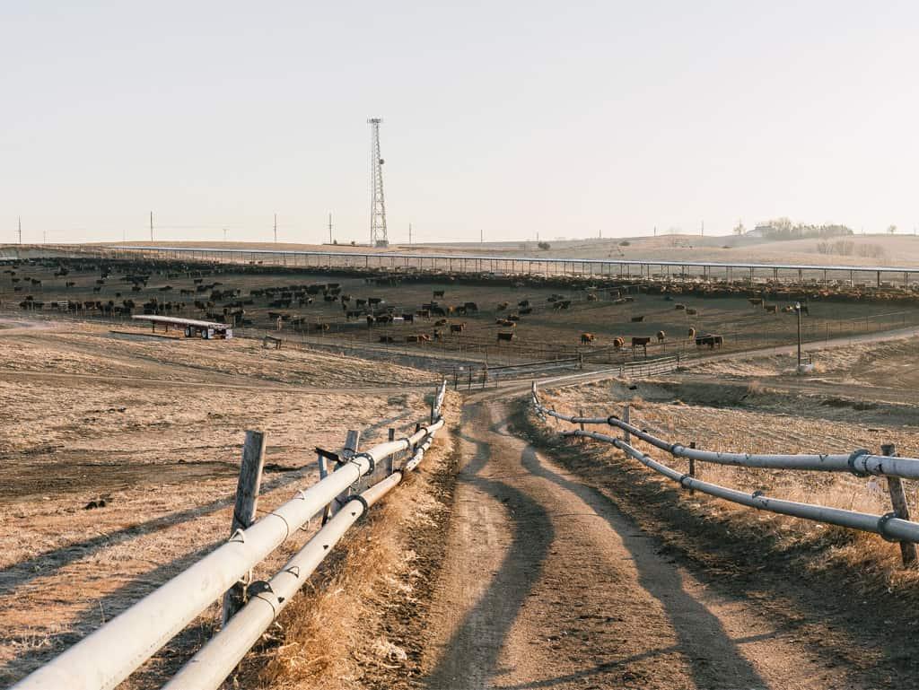 Unendliche Weiten: Die Rinder Nebraskas bekommen neben der Getreidefütterung viel Auslauf.
