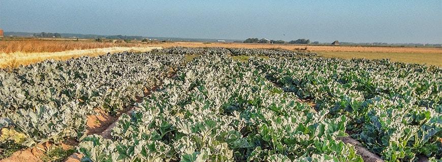 Niederländisches Testfeld: Das Unter-nehmen Zilt Proefbedrijf testet seit Anfang 2012, welche Pflanzen für den Anbau auf Salzböden geeignet