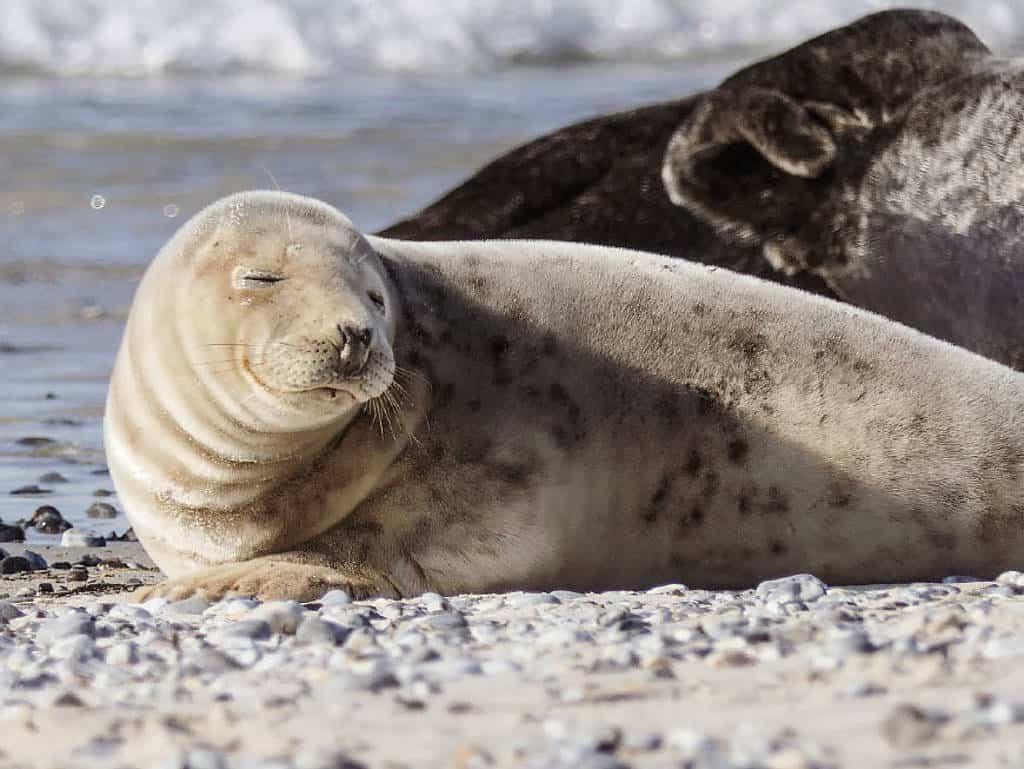 Wer auf Helgoland ist, muss unbedingt auf die Düne übersetzen, denn dort kann man Kegelrobben und Seehunde in freier Wildbahn beobachten
