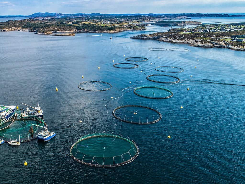 Aquakultur in Norwegen: Zwei bis drei Jahre braucht der norwegische Lachs, bis er vier bis fünf Kilo Körpergewicht hat.