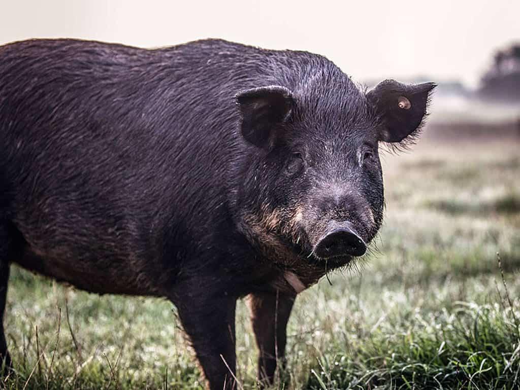 schwarzes schwein