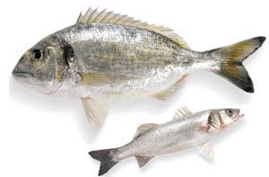zwei Zuchtfische