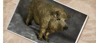 Blondes Mangalitza-Schwein