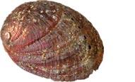 Abalone oder auch Ohrschnecke genannt