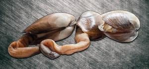 Elefantenrüsselmuschel
