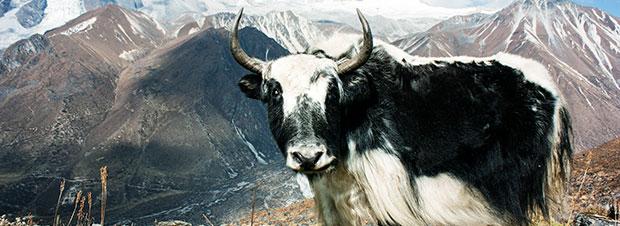ein Yak in den Bergen