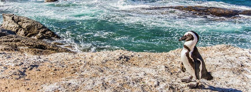 Pinguine mögen es heiß: in Simons Beach unweit von Kapstadt.