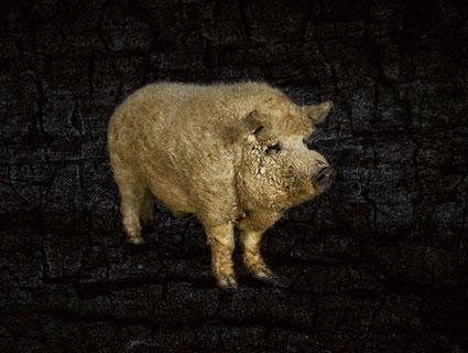 Blondes Mangalitza-Schwein Ungarn